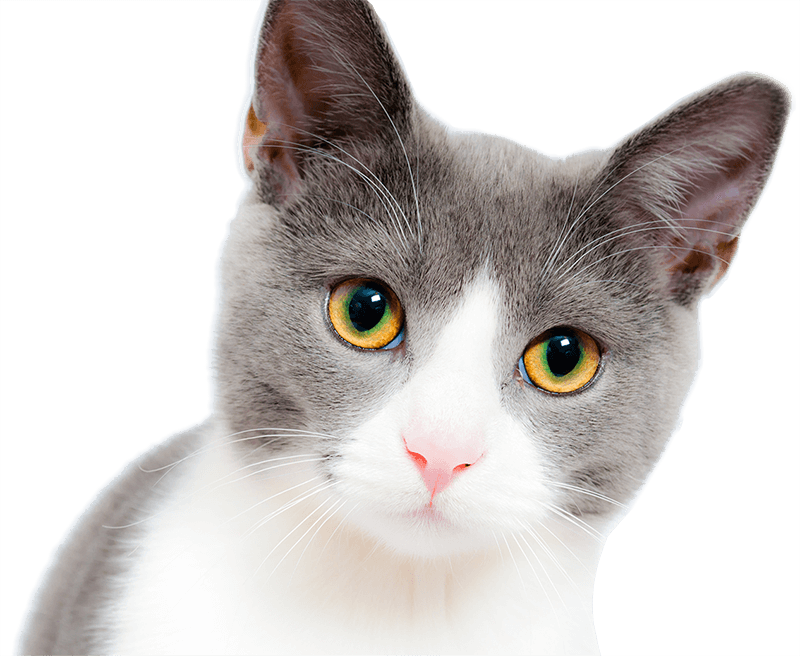 Gray and White Cat with Beautiful Yellow Green Eyes Looking Forward