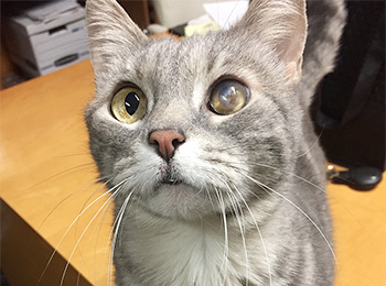 Gray Cat with One Eye Looking Up at Camera